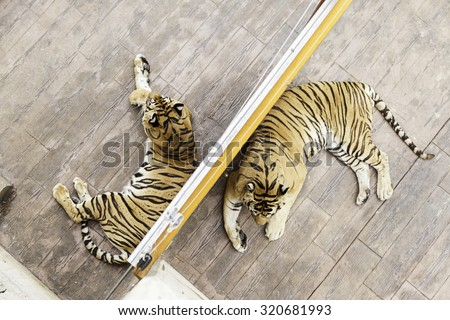 Tigers in a zoo, detail of a wild feline, dangerous animal - stock photo
