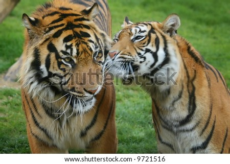 Tigers in love - stock photo
