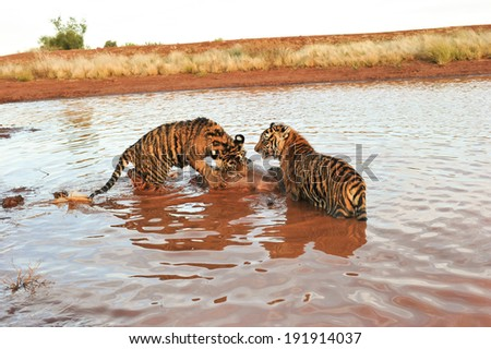 tigers in the river with prey - stock photo