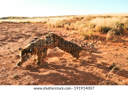 Tigers playing - stock photo