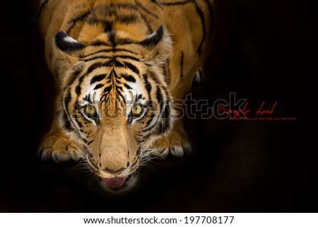 Tigers prey stare - stock photo