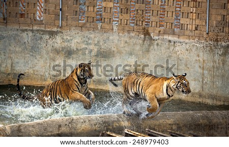 Tigers Swimming - stock photo