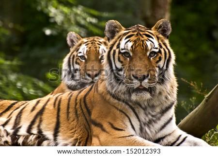 Tigers, UK - stock photo
