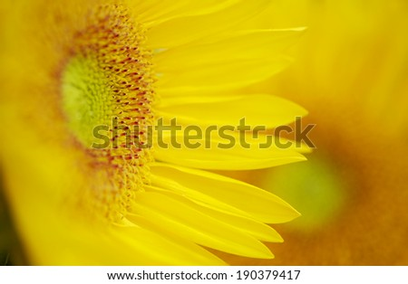 Tight focus on a Beautiful Yellow Sunflower... - stock photo
