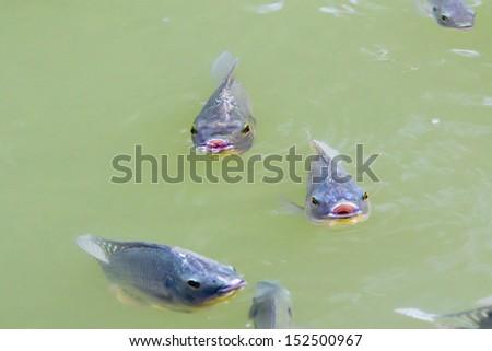 Tilapia Fish in farm - stock photo