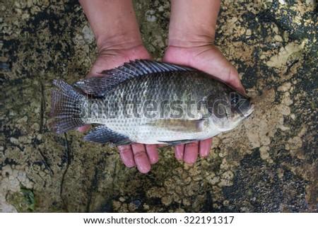 Tilapia (Oreochromis niloticus) in hand soft focus - stock photo
