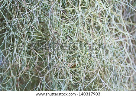 Tillandsia and Moss spain  background - stock photo