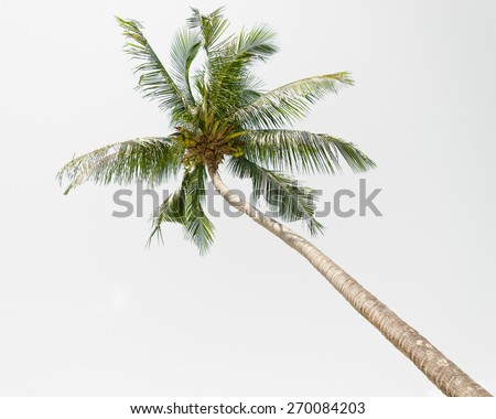 Tilted coconut palm tree isolated on white background - stock photo