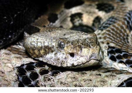 Timber Rattlesnake - stock photo