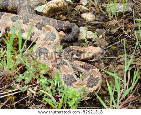 Juvenile timber rattlesnake Stock Photos, Images ...
