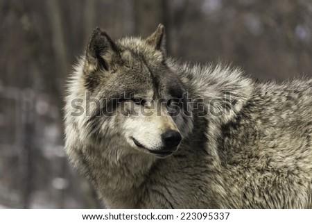 Timber wolf - stock photo