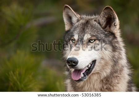 Timber Wolf (Canis lupus) - copy space left - captive animal - stock photo