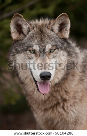 Timber Wolf (Canis lupus) Open Mouth - captive animal - stock photo
