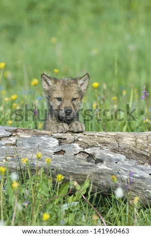 Timber wolf cub in spring Montana meadow  - stock photo