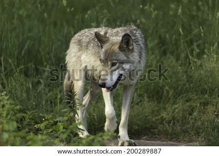 Timber wolf in a grassy field - stock photo