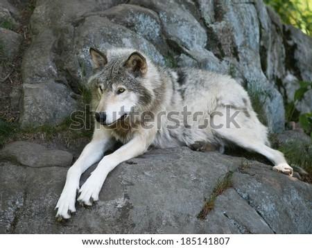 Timber Wolf laying on rocks - stock photo