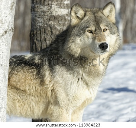 Timber wolf portrait - stock photo