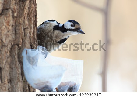 Timirjazevsky park, Moscow. Russia. Dendrocopos major, Great spotted woodpecker. - stock photo