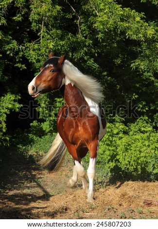 Tinker Pony horse - galloping in bushes - stock photo
