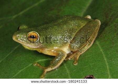 Tinker Reed Frog - stock photo