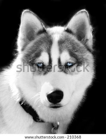 Tinted Black and white photo of male Husky, blue eyes - stock photo