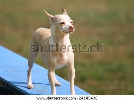 Tiny Agility Dog on a walk way - stock photo