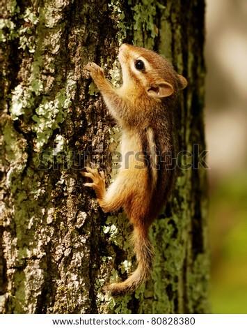 Tiny baby chipmunk climbing a tree - stock photo