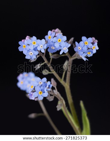 Tiny blue Forget-me-not flowers against dark background - stock photo