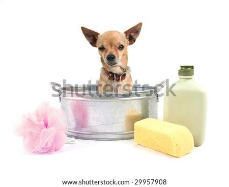 tiny chihuahua in a small metal bathtub - stock photo