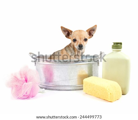 tiny chihuahua in a small metal bathtub isolated on a white background  - stock photo