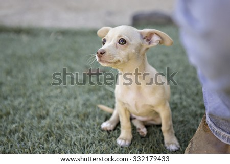 Tiny Chihuahua Puppy sitting next to a persons foot - stock photo