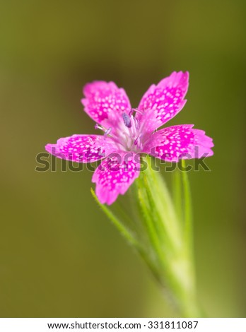 Tiny Deptford Pink, a delicate wildflower  - stock photo