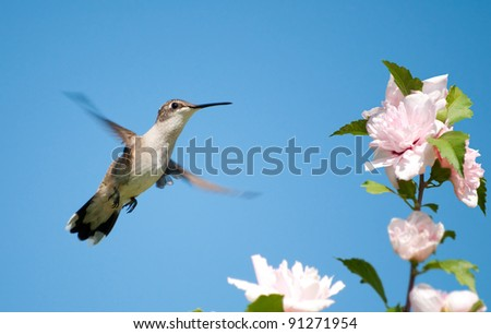 Tiny female Hummingbird hovering, getting ready to feed on an Althea flower - stock photo