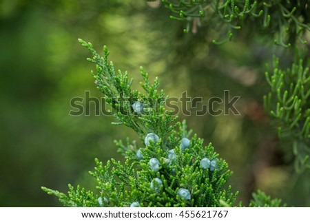 Tiny Fir Cones Forming on Pine Branch - stock photo