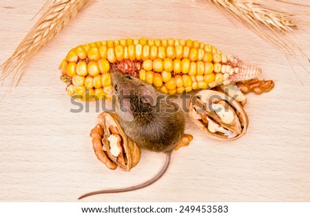 Tiny house mouse (Mus musculus) eating walnut and corn seeds - stock photo
