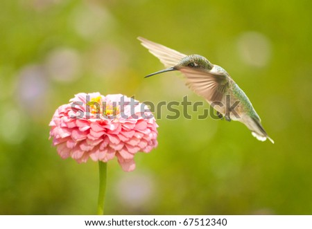 Tiny Hummingbird getting ready to feed in a flower in a summer garden - stock photo