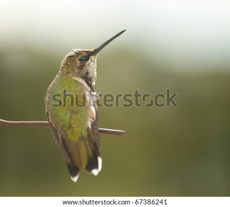Tiny juvenile male Hummingbird scratching his head - stock photo
