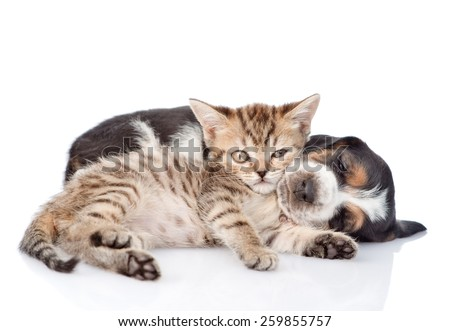 Tiny kitten and sleeping basset hound puppy together. isolated on white background - stock photo