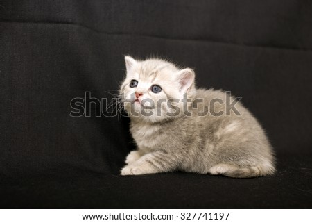 Tiny kitten on a dark background, kitten British breed, a small kitten in drapery, pet, cute baby. - stock photo