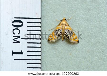 tiny moth Nymphicula yoshiyasui - stock photo