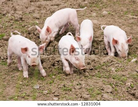 Tiny piglets - stock photo
