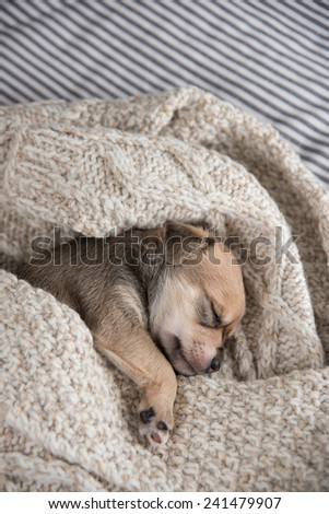 Tiny Puppy Sleeping in Bed Wrapped in  Wool Sweater - stock photo