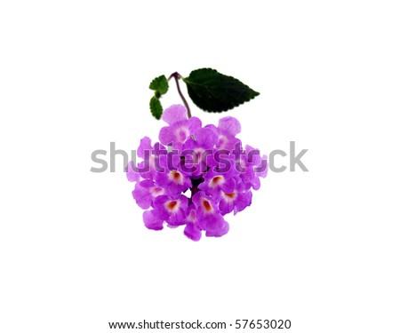 tiny purple flower lantana flowers isolated on a white background - stock photo