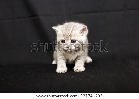 Tiny scared kitten on a dark background, kitten British breed, a small kitten in drapery, pet, cute baby. - stock photo