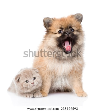 tiny spitz puppy sitting with scottish kitten together. isolated on white background - stock photo