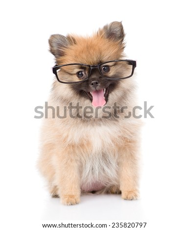 tiny spitz puppy with glasses. isolated on white background - stock photo