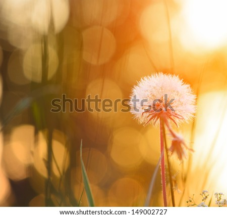 Tiny summer dandelion  - stock photo