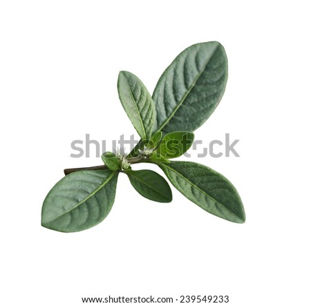 Tiny tropical wild flower isolated on white background - stock photo