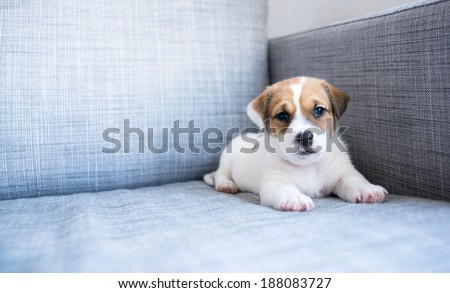 Tiny White and Fawn Cute Puppy Sitting on Sofa at Home - stock photo