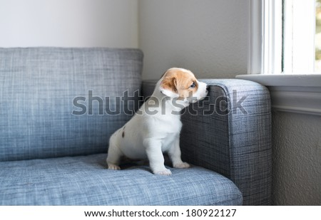 Tiny White and Fawn Cute Puppy Sitting on Sofa at Home Looking Outside Through Window - stock photo